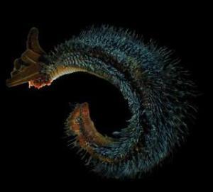 pompeiworm